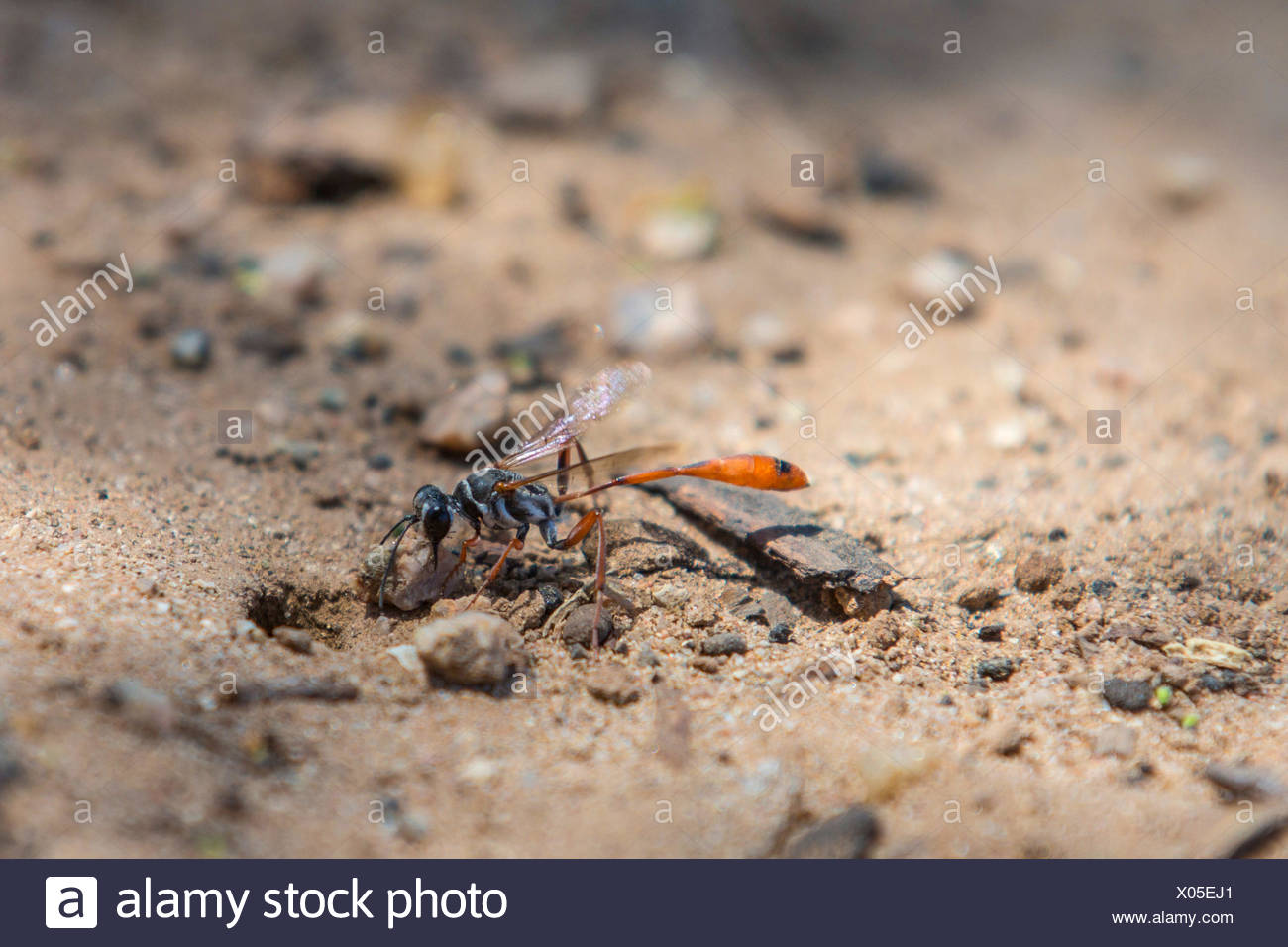 digger wasps, hunting wasps (Sphecidae, Sphegidae), closing a prey hiding-place with a stone, USA, Arizona, Phoenix Stock Photo