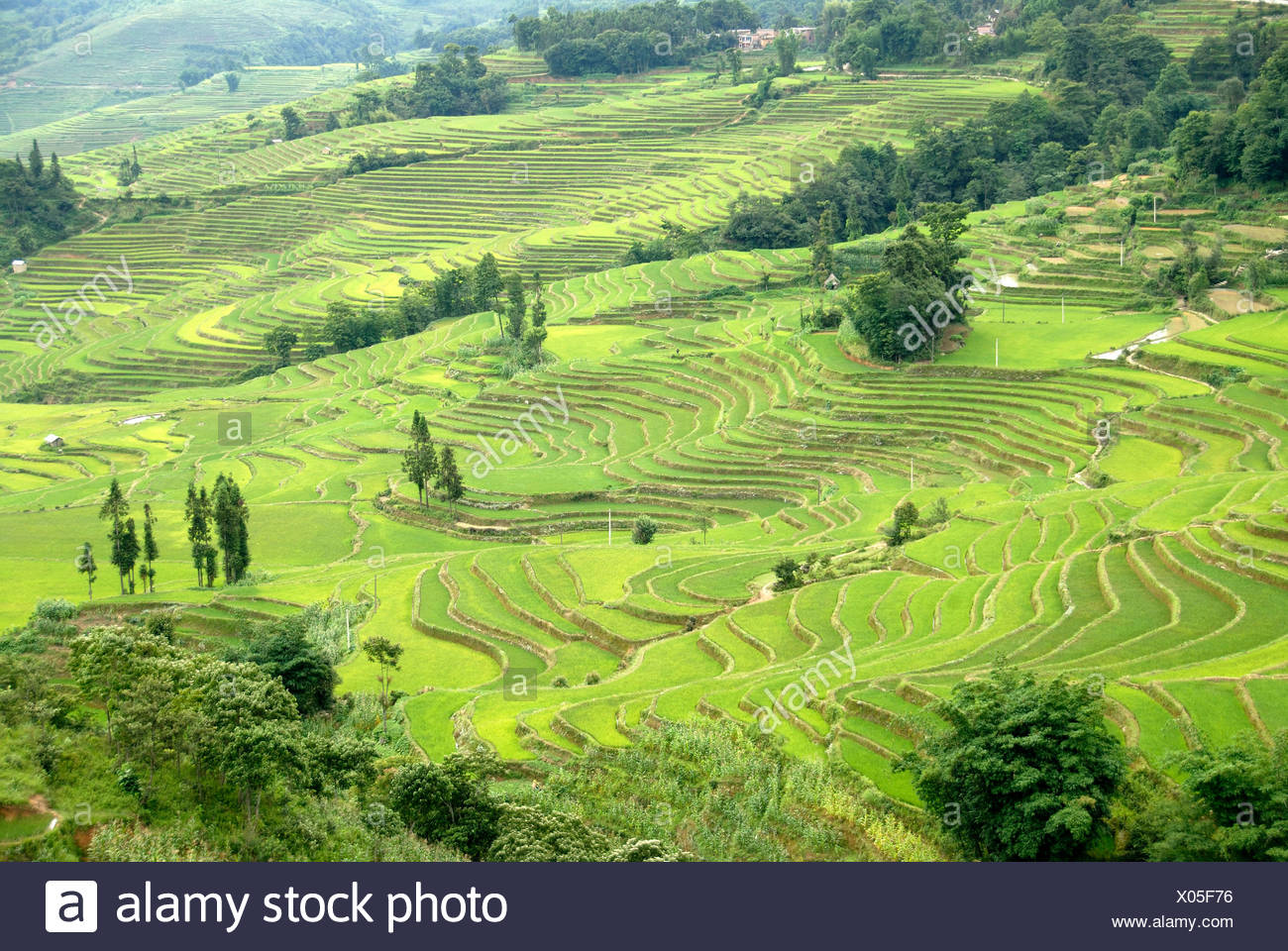 Green rice fields on the hillside, terraced rice fields, Yuanyang, in Xinji, Yunnan Province, People's Republic of China, Asia - Stock Image