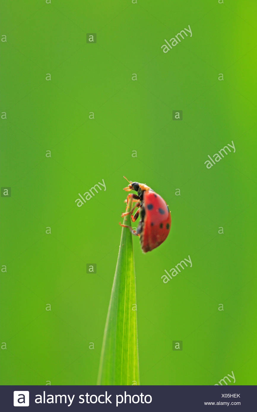 Blade grass, ladybird, grass, leaves, stalk, point, pointed, green, animal, beetle, insect, red, scored, luck bringer, luck beetle, Coccinellidae, nature, close up, copy space, - Stock Image
