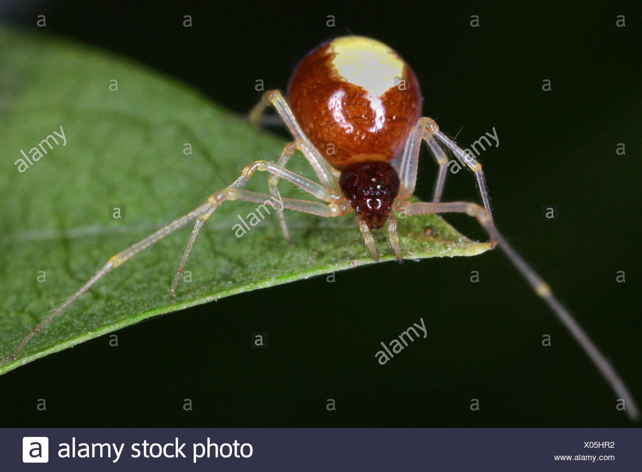 Kugelspinne, Haubennetzspinne (Theridiidae), auf einem Blatt, Oesterreich | comb-footed spider (Theridiidae), on a leaf, Austria - Stock Image