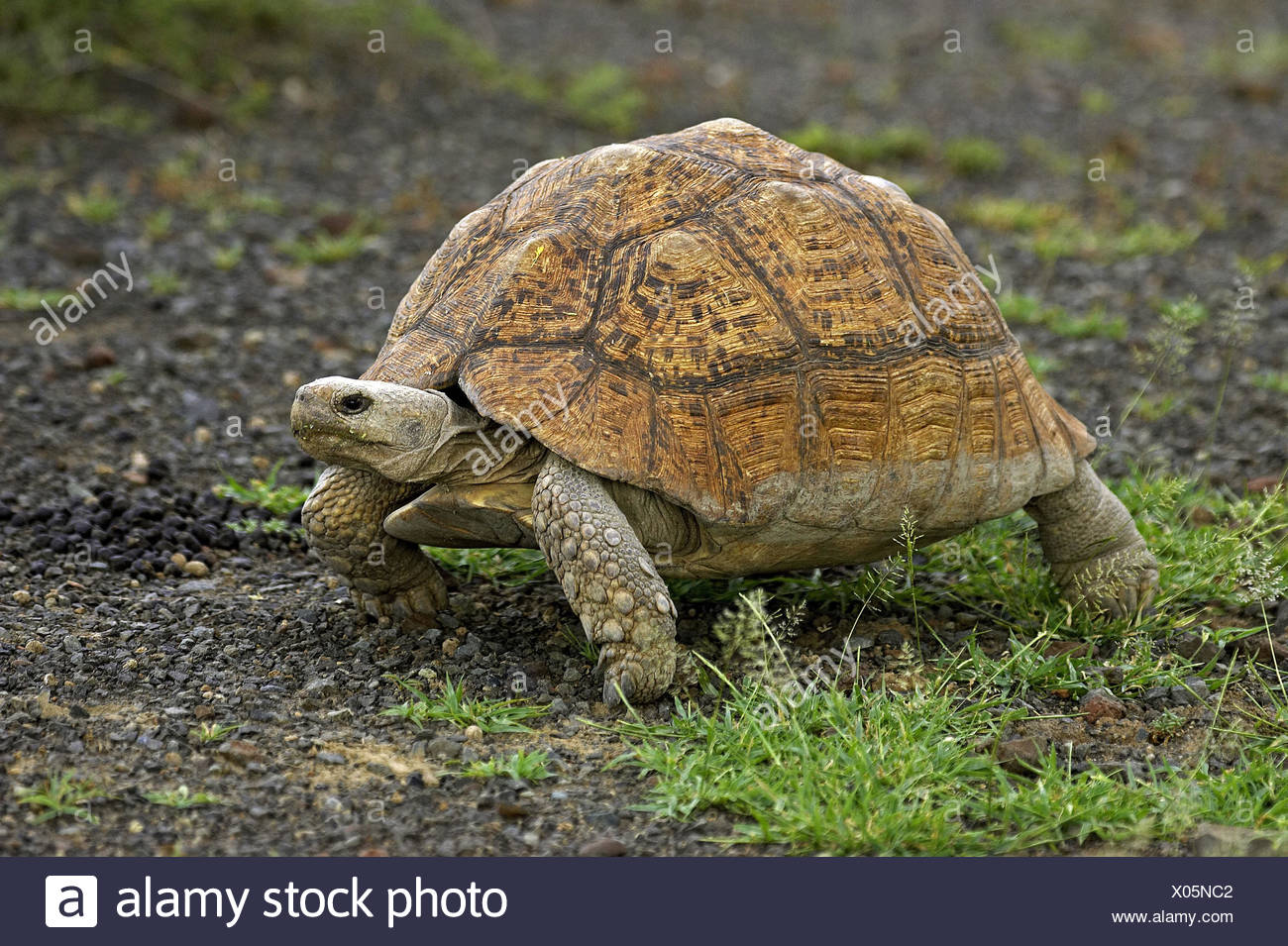Panther's tortoise, Geochelone pardalis, adult animal, grass, Kenya, - Stock Image