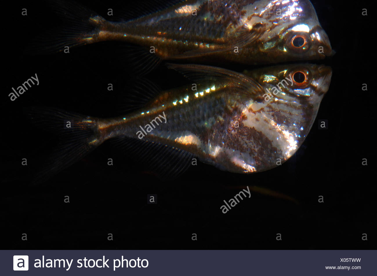 The Hatchet Fish - Gasteropelecidae