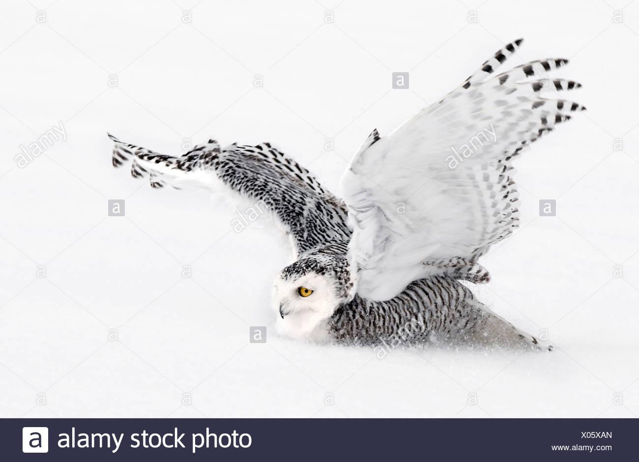 Snowy Owl landing, Ottawa, Canada - Stock Image