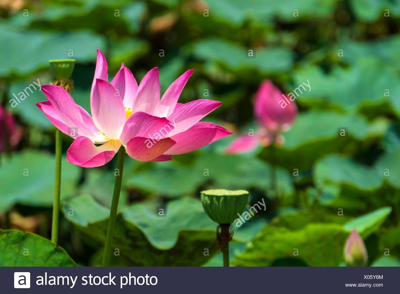 Red lotus flower stock photos red lotus flower stock images alamy red lotus flower stock image mightylinksfo
