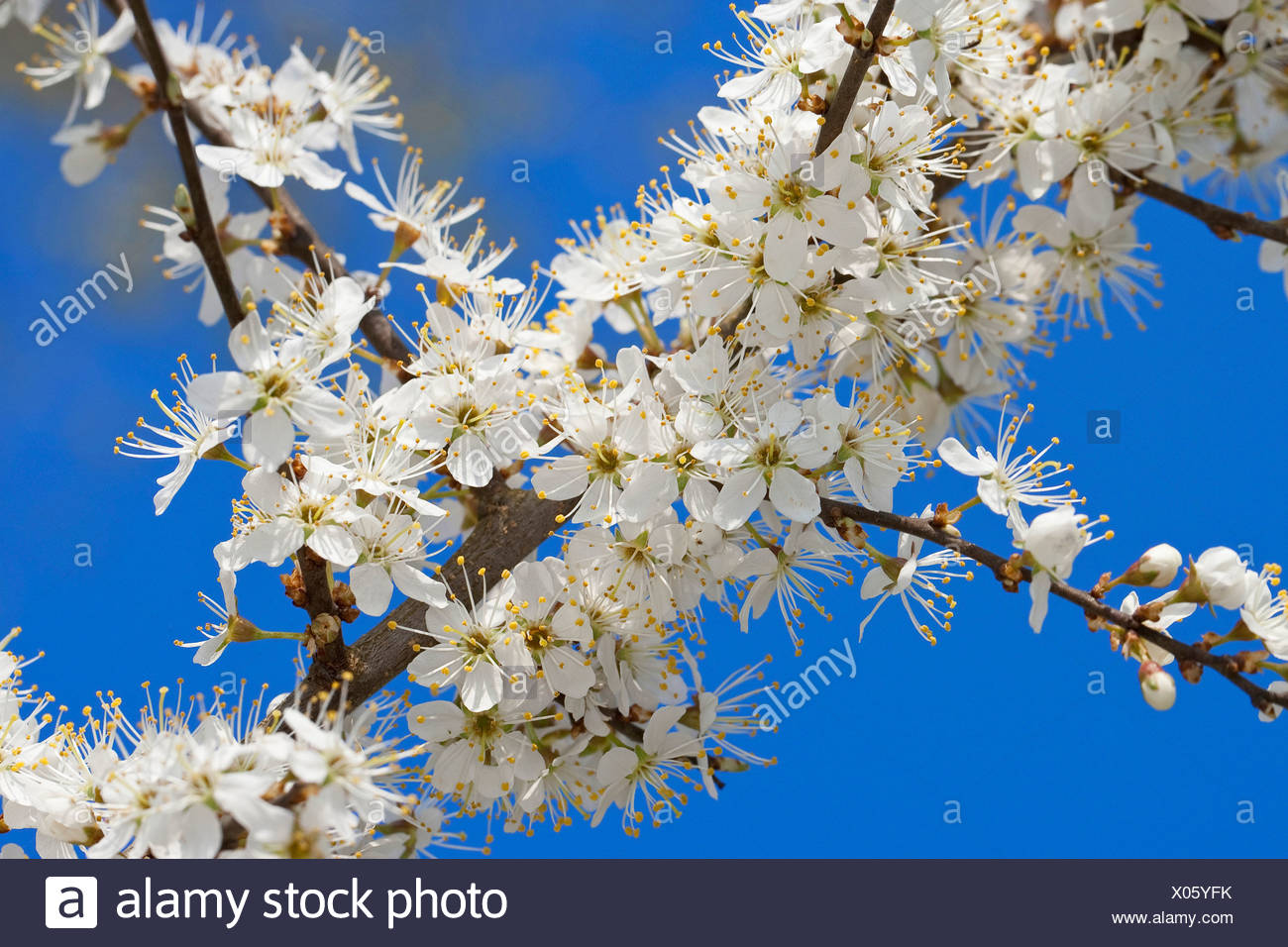 blackthorn, sloe (Prunus spinosa), blooming branches, Germany - Stock Image