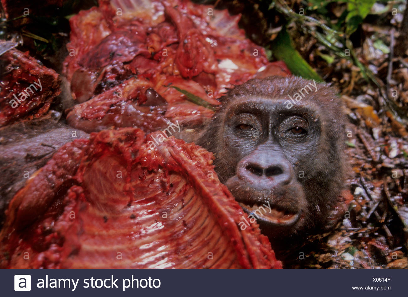 Killed Western Lowland Gorilla - Stock Image