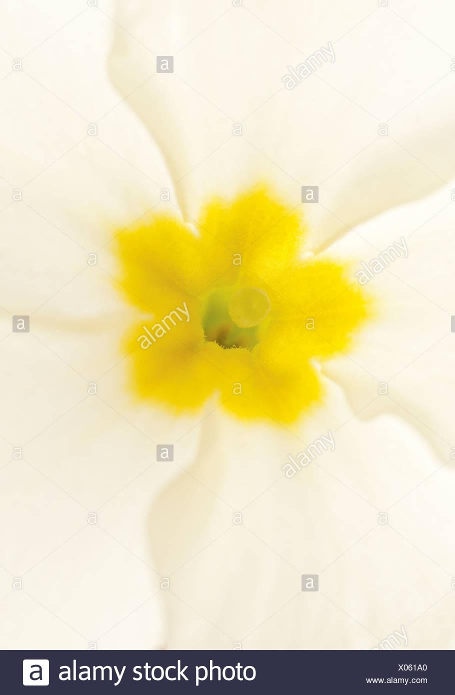 Primula, Primula, Primrose - Stock Image