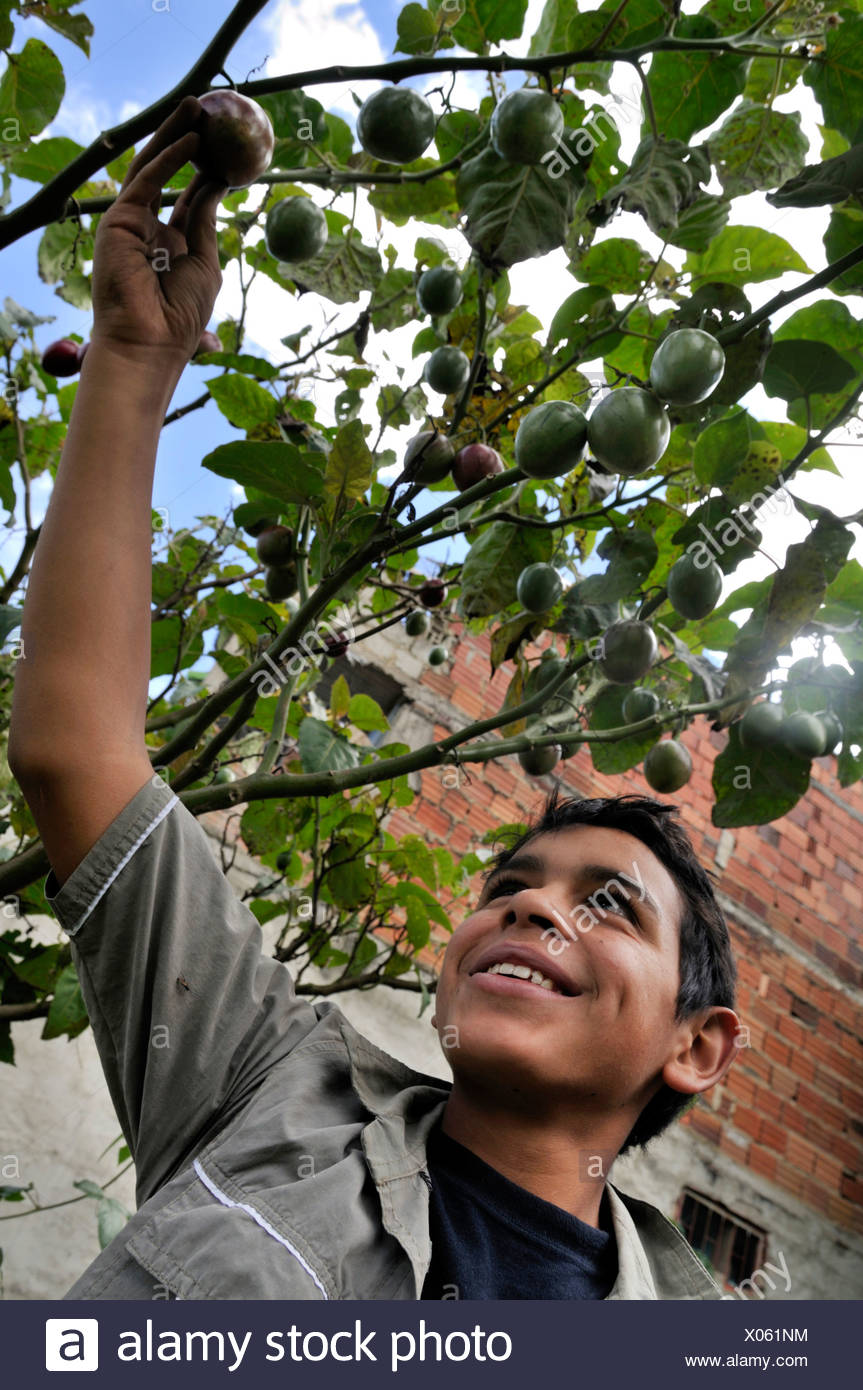 Teenager being delighted about a ripe Tamarillo fruit (Solanum betaceum), He is being trained in horticulture as part of an urb - Stock Image