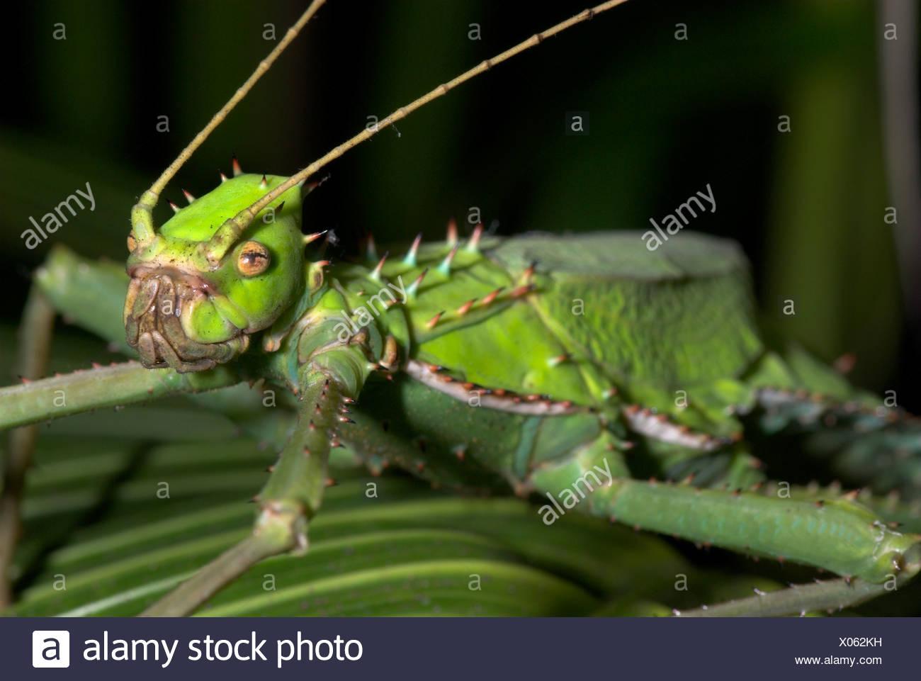 Jungle Nymph Heteropteryx Dilatata Stock Photo