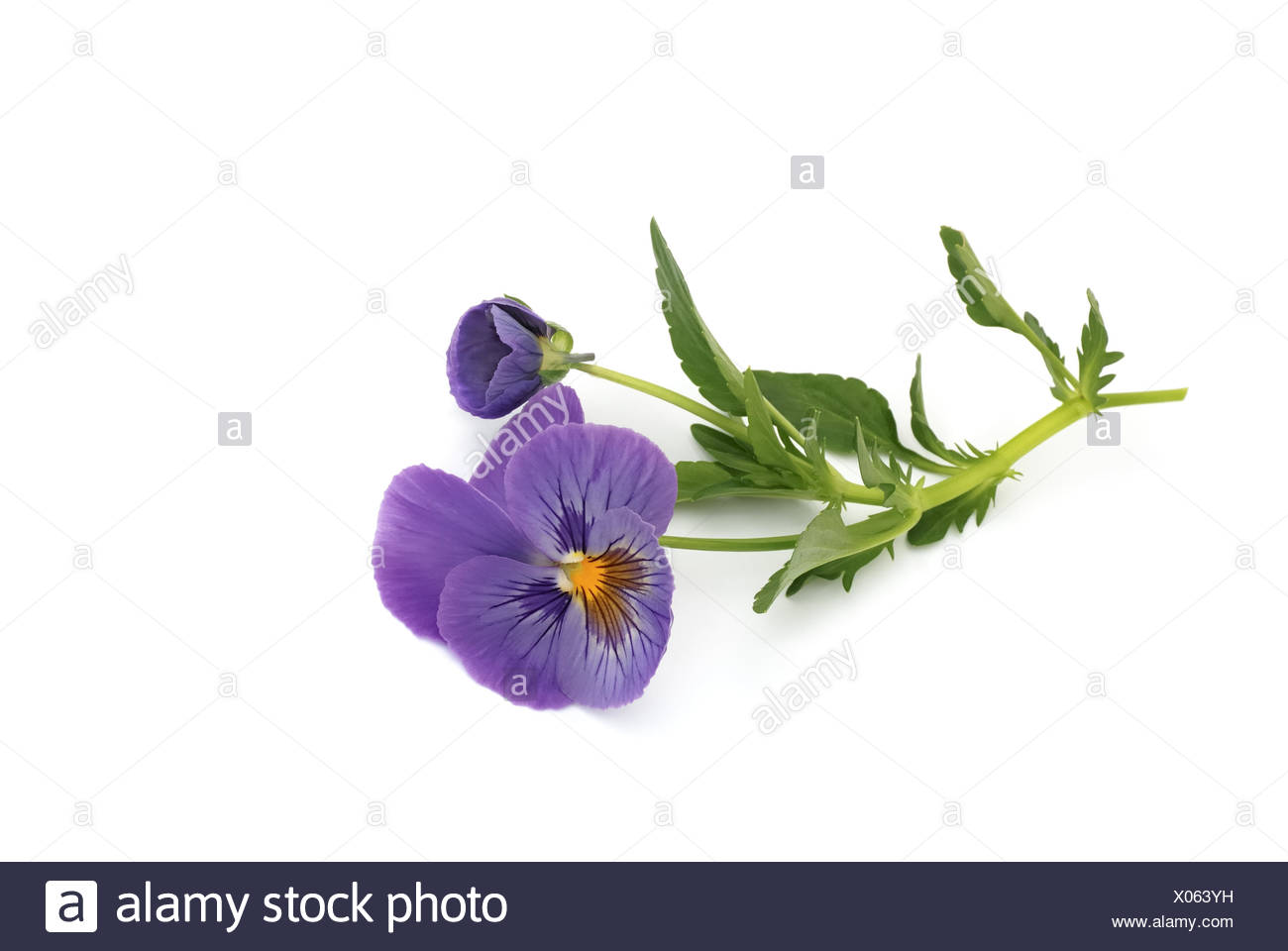 pansies on white background - Stock Image