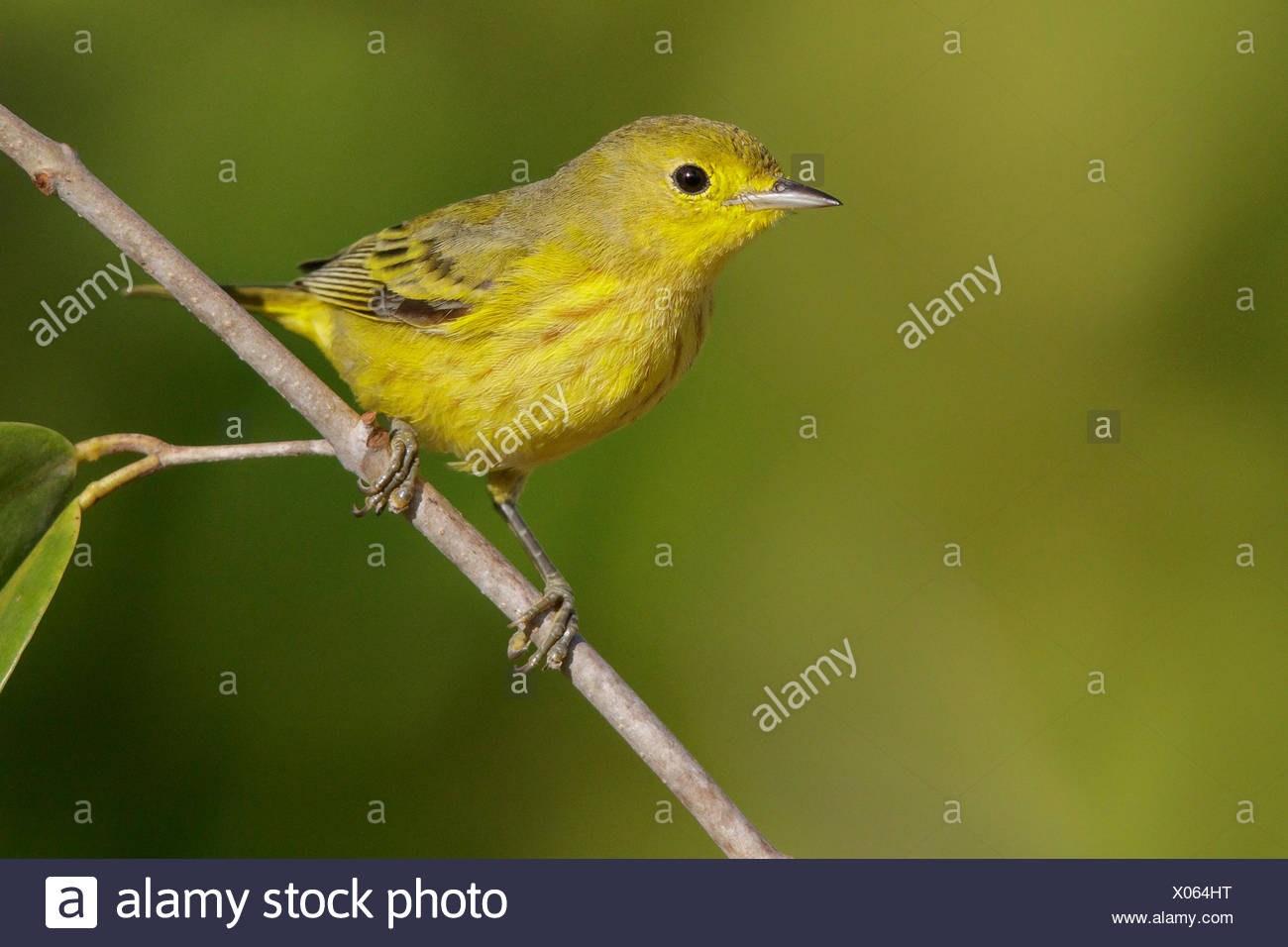Yellow Warbler (Setophaga petechia) perched on a branch in Cuba. - Stock Image