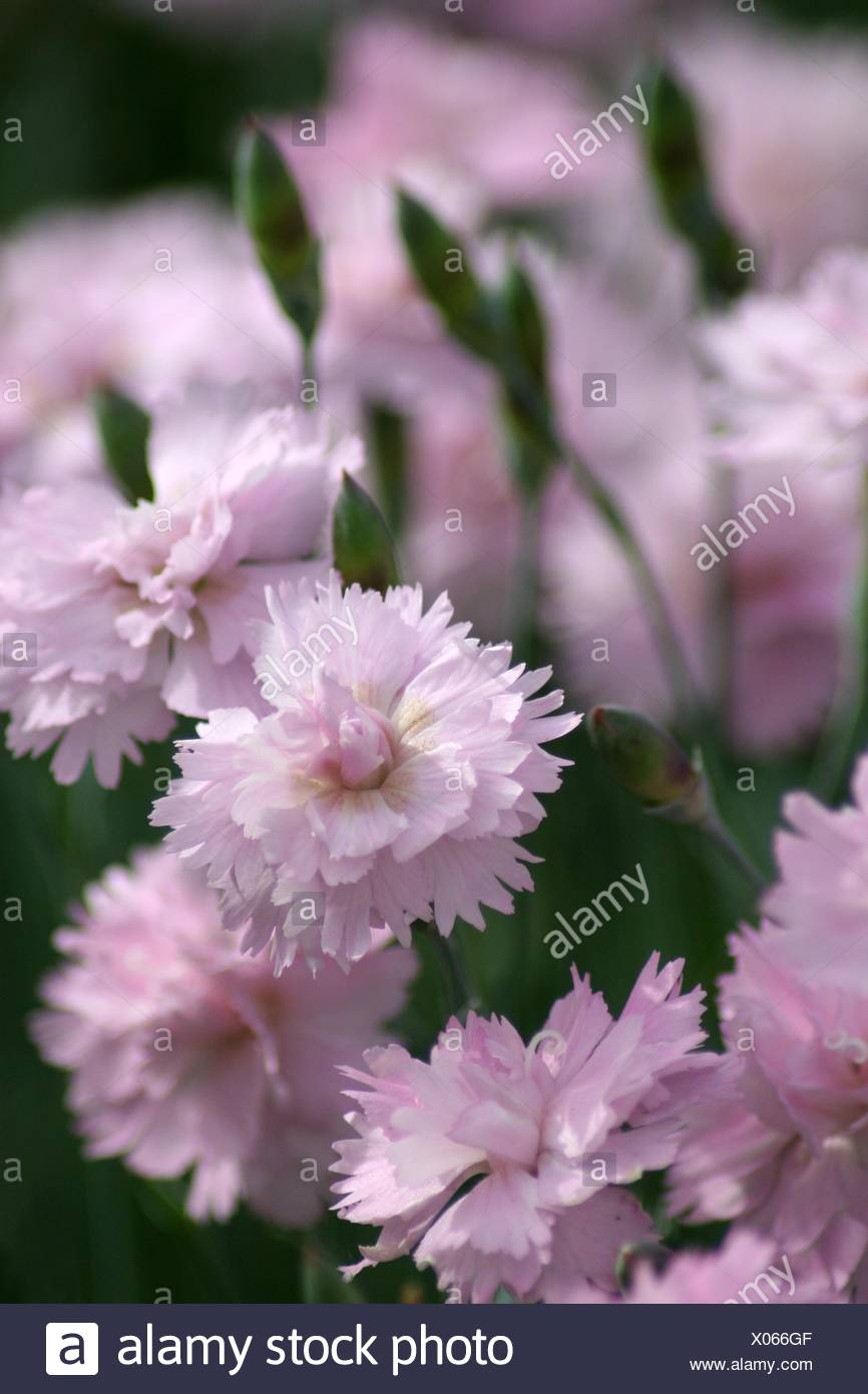 carnation bloom blossom - Stock Image