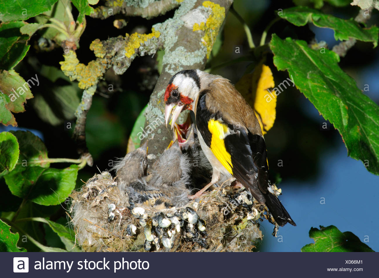 Goldfinch, European Goldfinch (Carduelis carduelis) Stock Photo