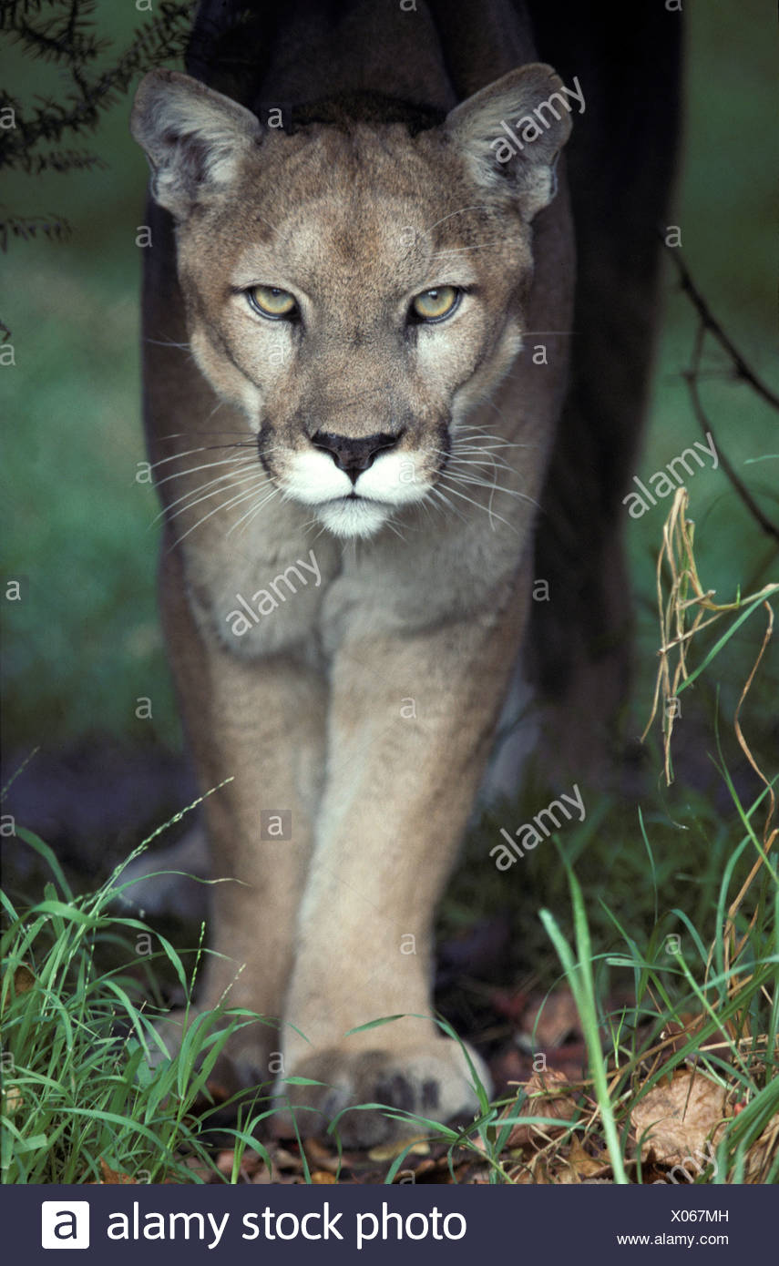 05b74055fc8d A mesmerising glare of a stalking Puma hunting prey Stock Photo ...