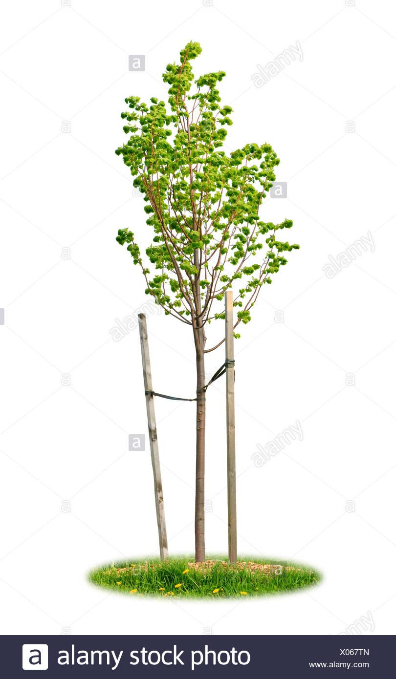 isolated tree ecology - Stock Image