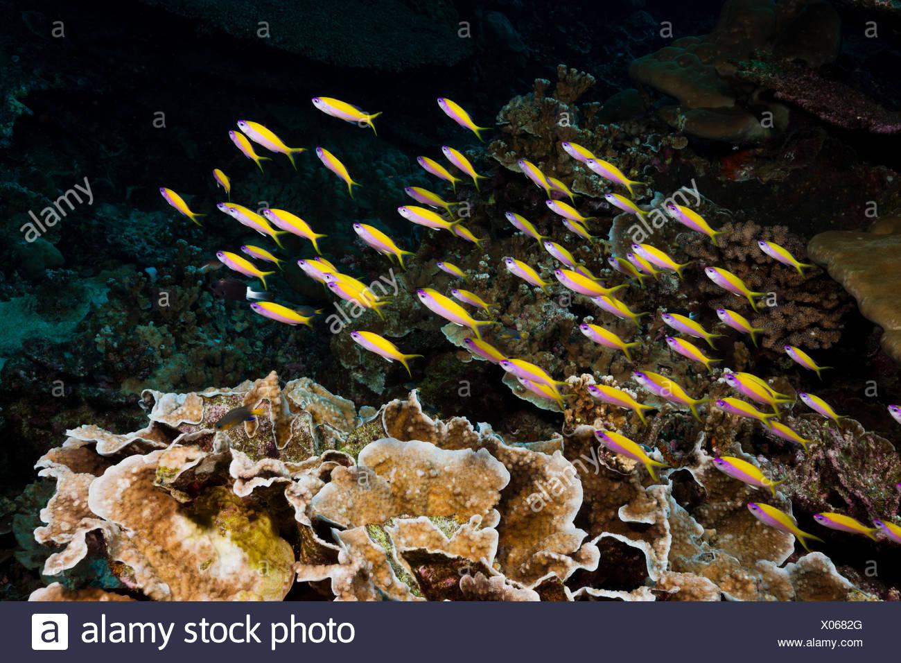 Shoal of Yellowback Anthias, Pseudanthias evansi, Christmas Island, Australia Stock Photo