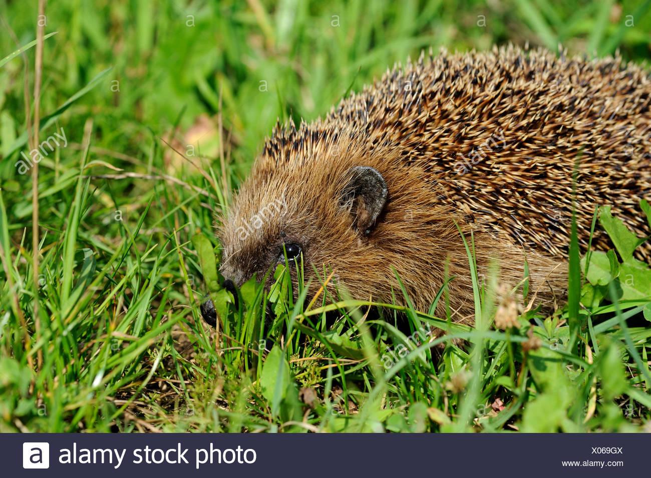 Hedgehog, bristling, Erinaceus europaeus, Common hedgehog, European, summer, hedgehog, summer, animal, animals, Germany, Europe, - Stock Image