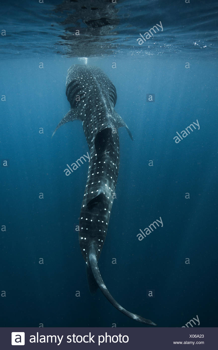Large whale shark (Rhincodon typus) feeding on fish eggs at sea surface, Isla Mujeres, Mexico - Stock Image