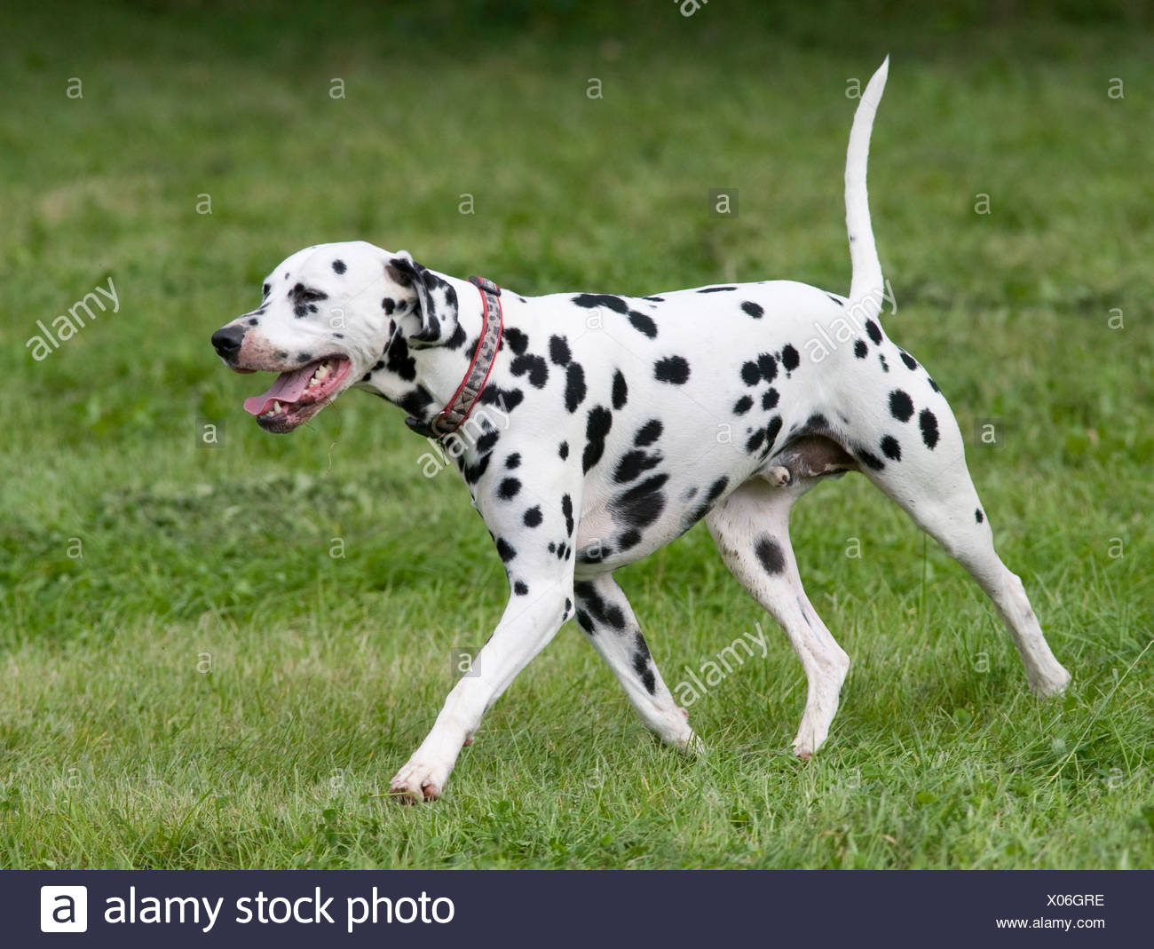 Dalmatian Dog UK in garden Stock Photo