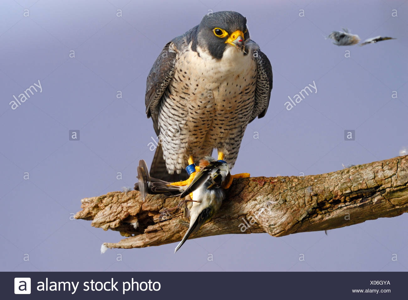 Peregrine Falcon (Falco peregrinus) with his prey, a dead chaffin, Germany - Stock Image