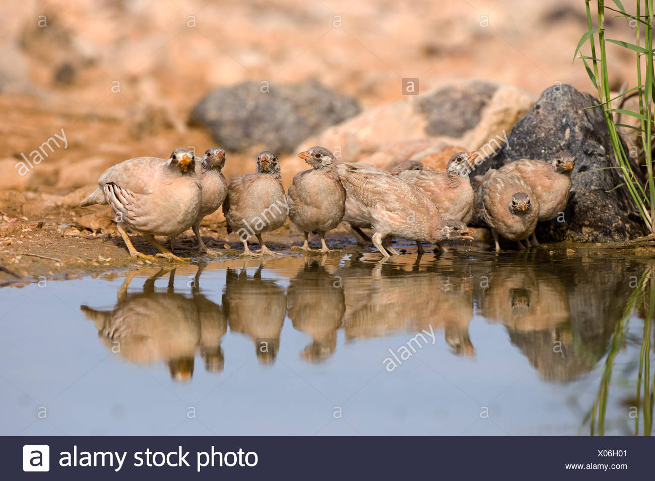 chicks of a sand partridge (Ammoperdix heyi) is a gamebird in the pheasant family Phasianidae of the order Galliformes, gallinac - Stock Image