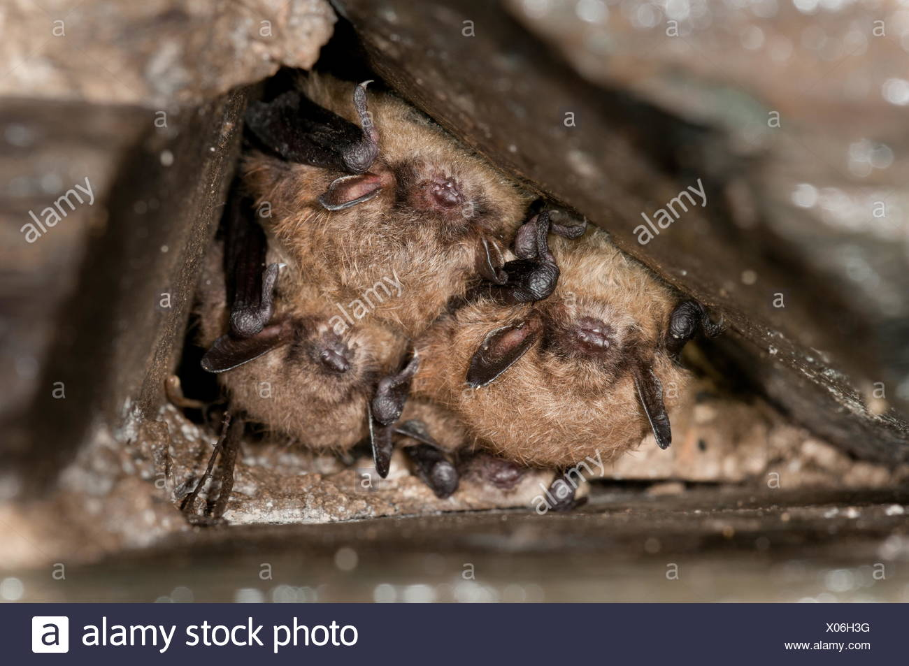 1 daubenton (above) and two Brandt's bats. Myotis brandtii is a species of vesper bat in the family Vespertilionidae. It is found throughout most of Europe and parts of Asia. It is known for its extreme longevity quotient, approximately twice that of humans. - Stock Image