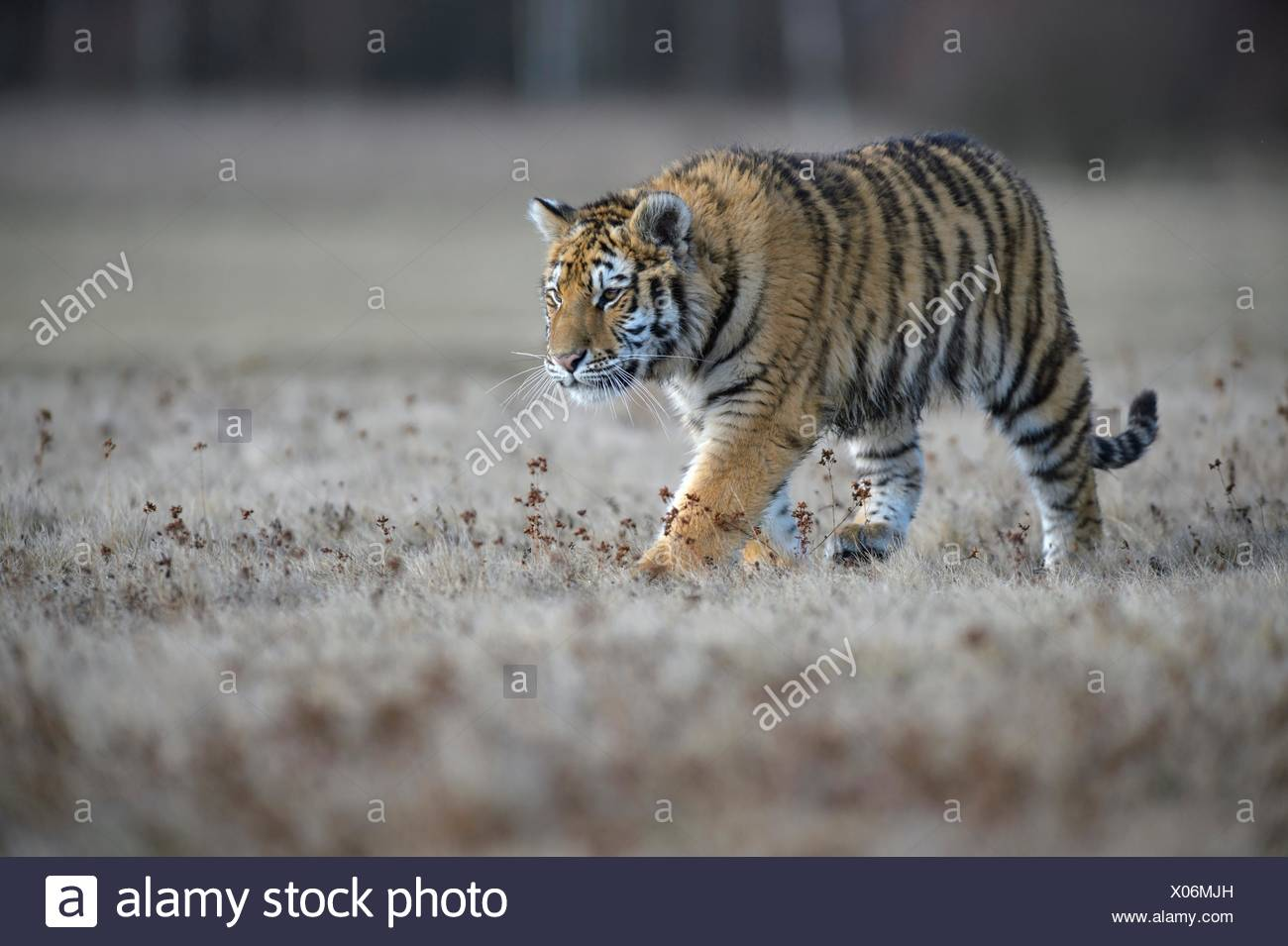 Siberian tiger (Panthera tigris altaica), runs in a nearby meadow, captive, Moravia, Czech Republic - Stock Image