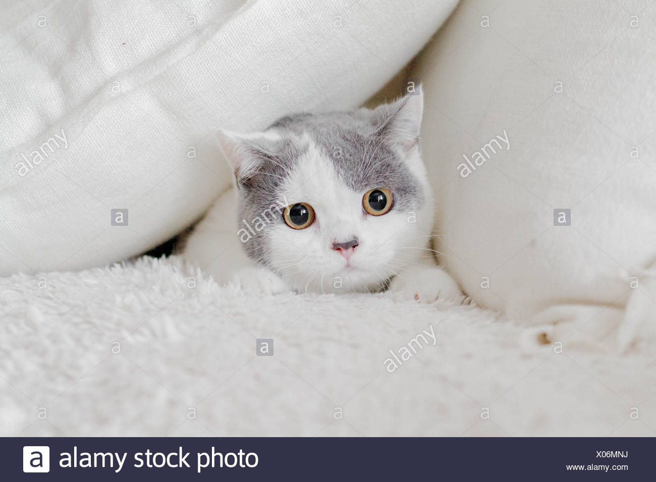 Cat hiding in pillows Stock Photo