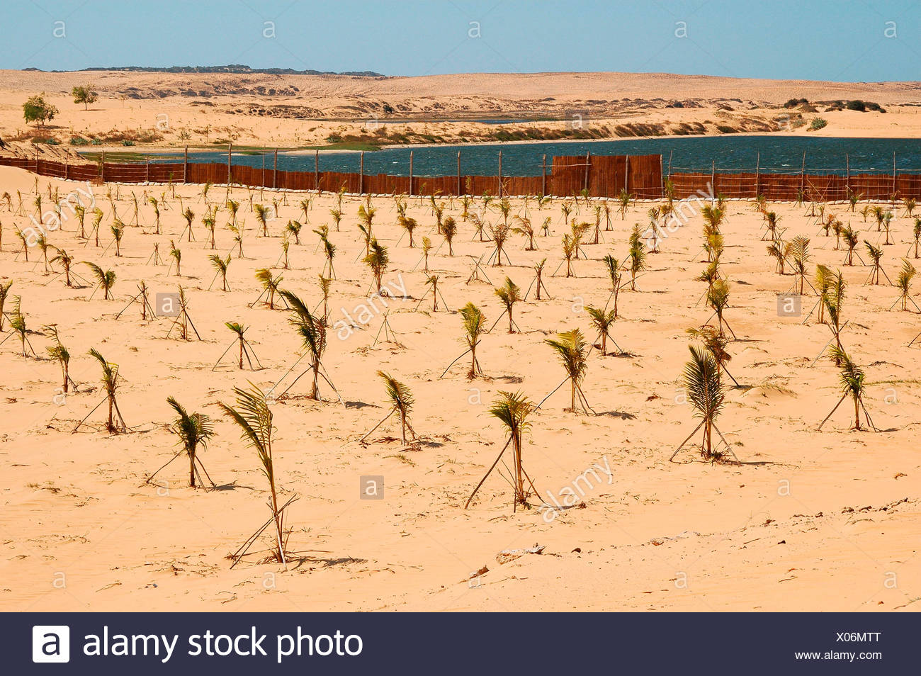 Plantation with young palms for a reforestation project for the containment of the growing desert areas, near Mui Ne, Vietnam,  - Stock Image