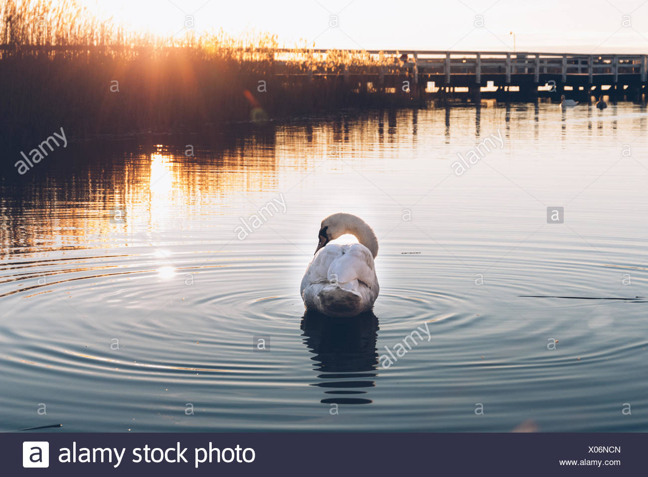 Rear View Of Swan In River - Stock Image