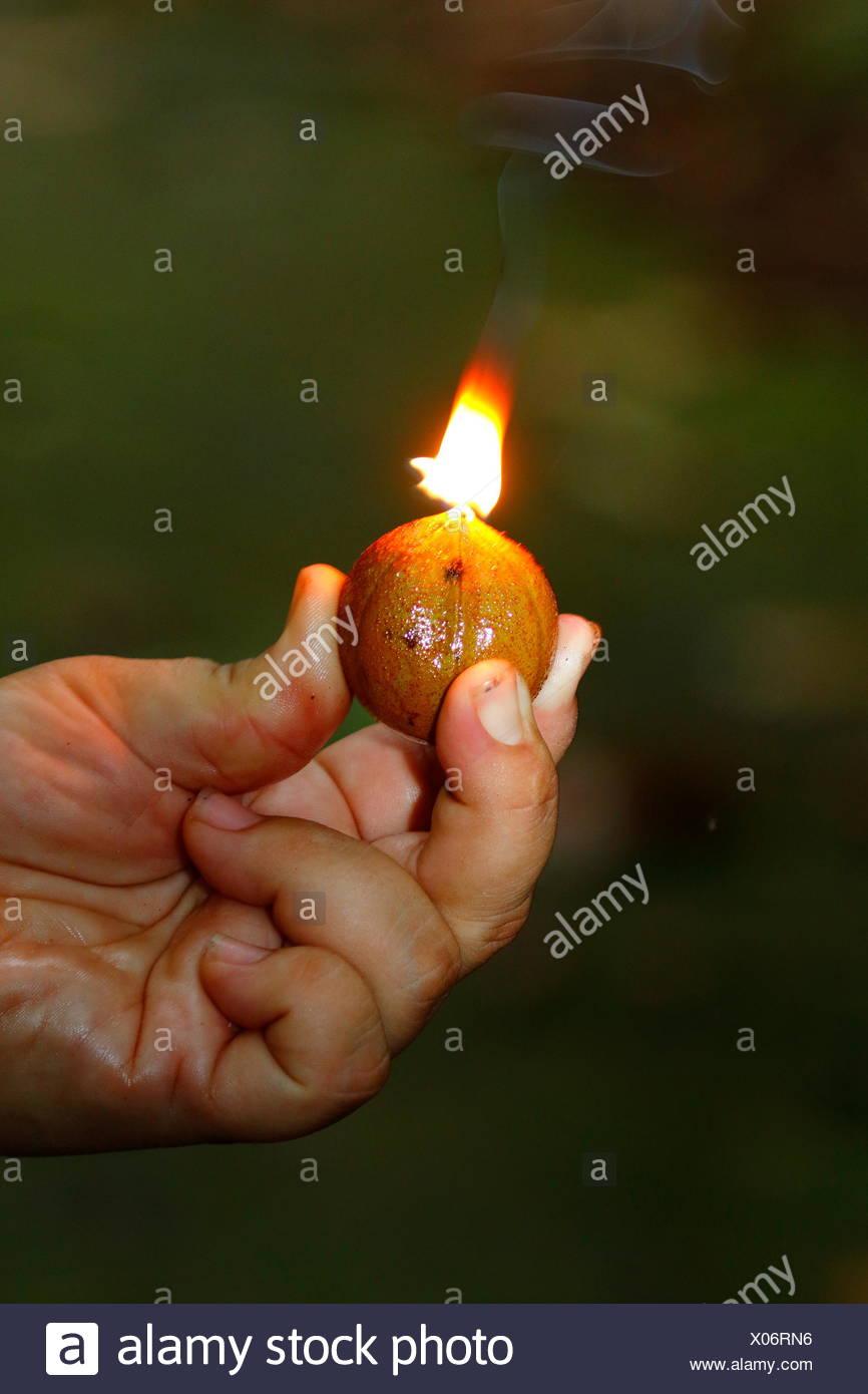 A flammable fruit, Copaifera langsdorffii, is the fruit of the tropical Diesel tree. - Stock Image