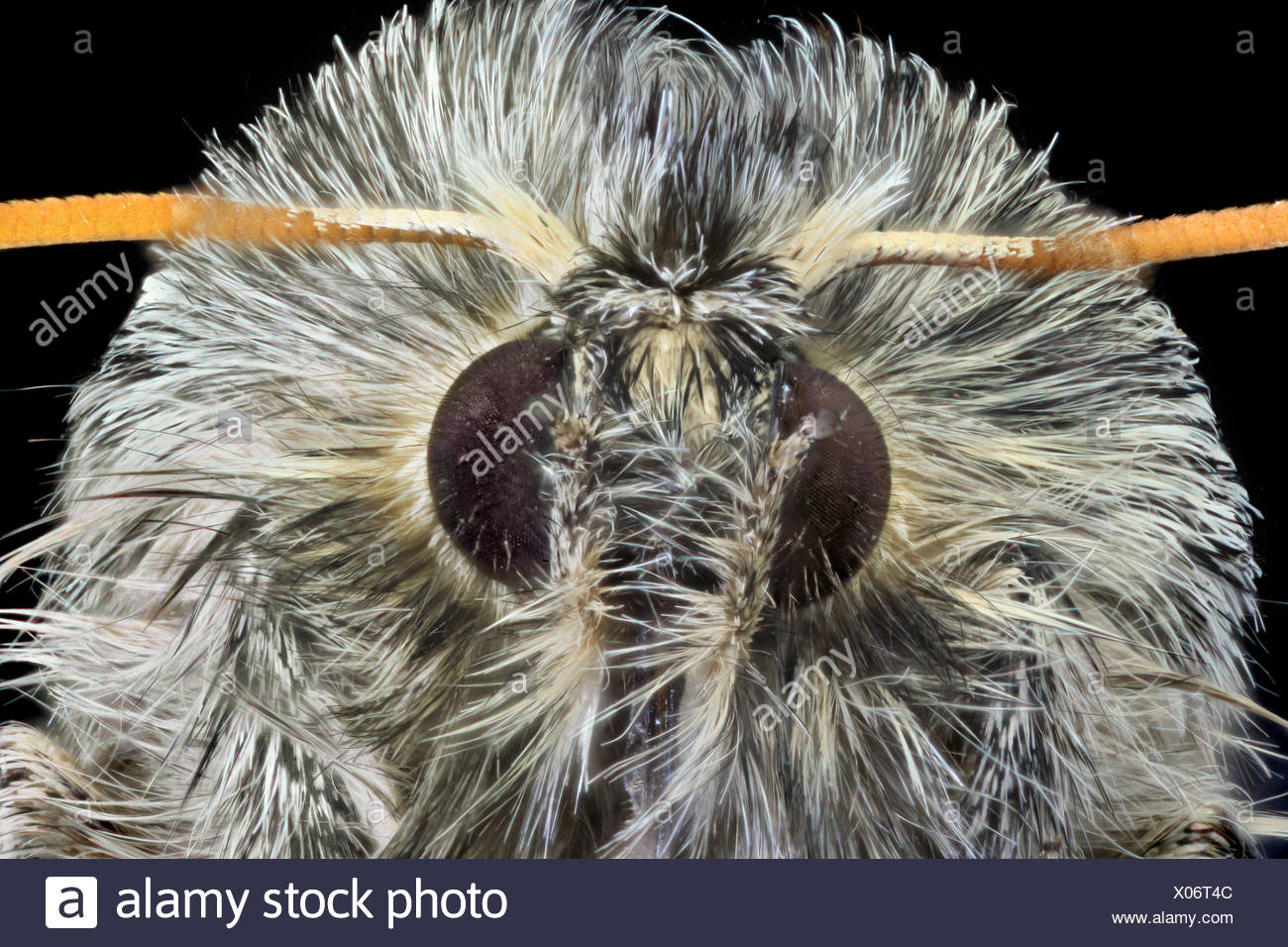 macro shot of the compound eyes of a moth - Stock Image