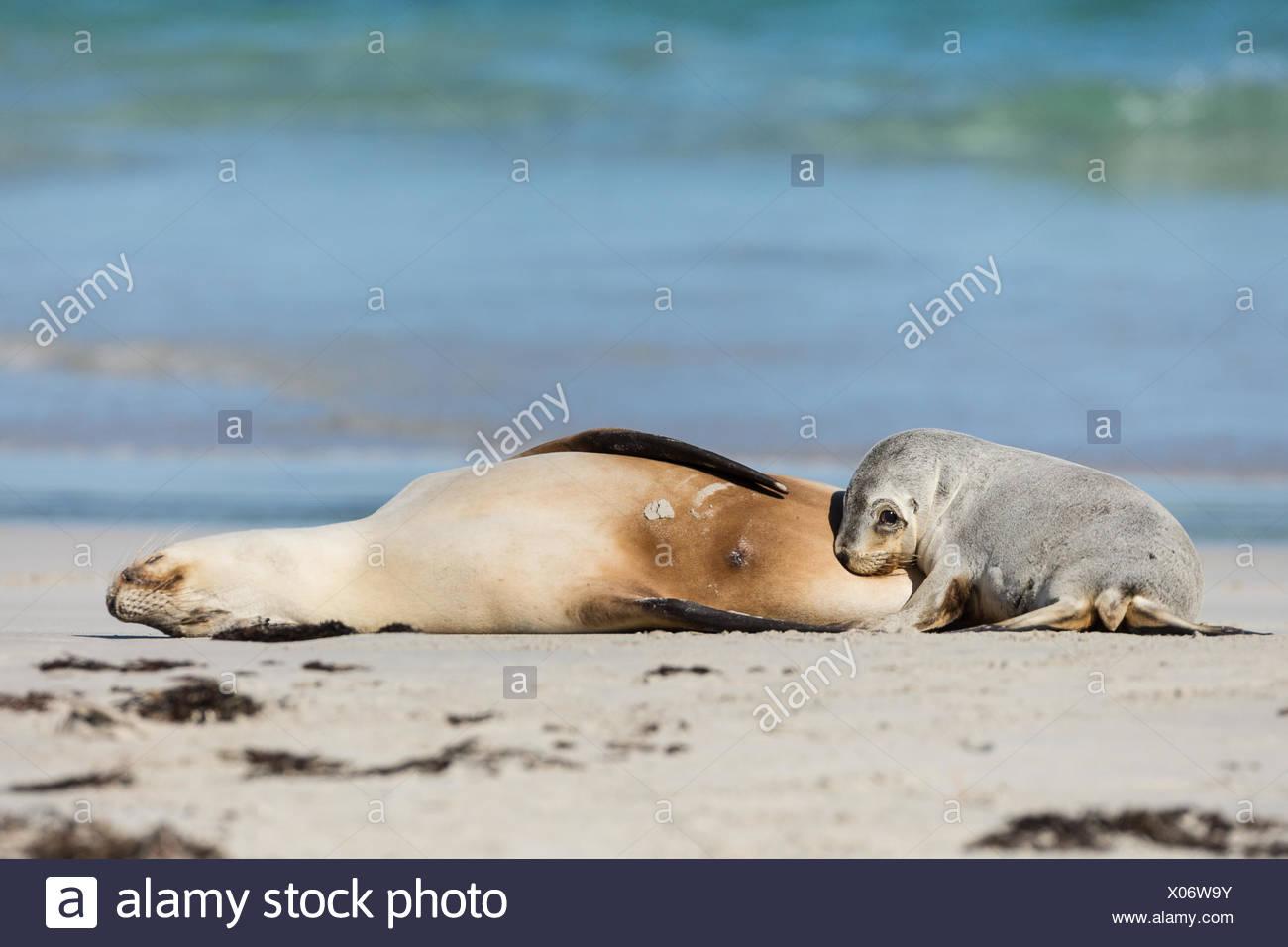 Australian sea lion female and baby, Neophoca cinerea, on the beach. - Stock Image