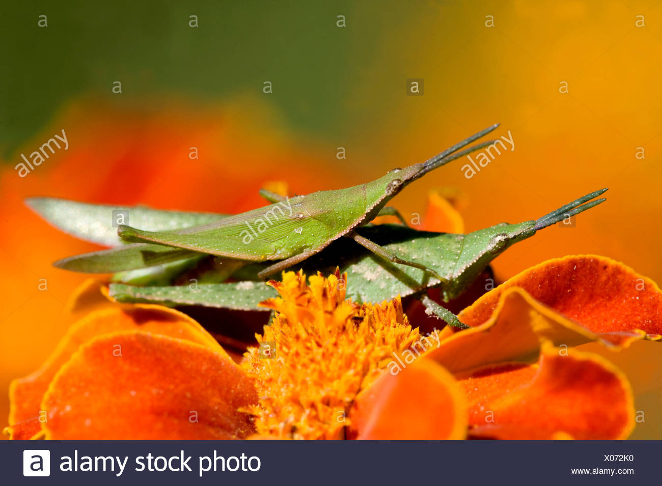 Pair of Grasshoppers mating India - Stock Image