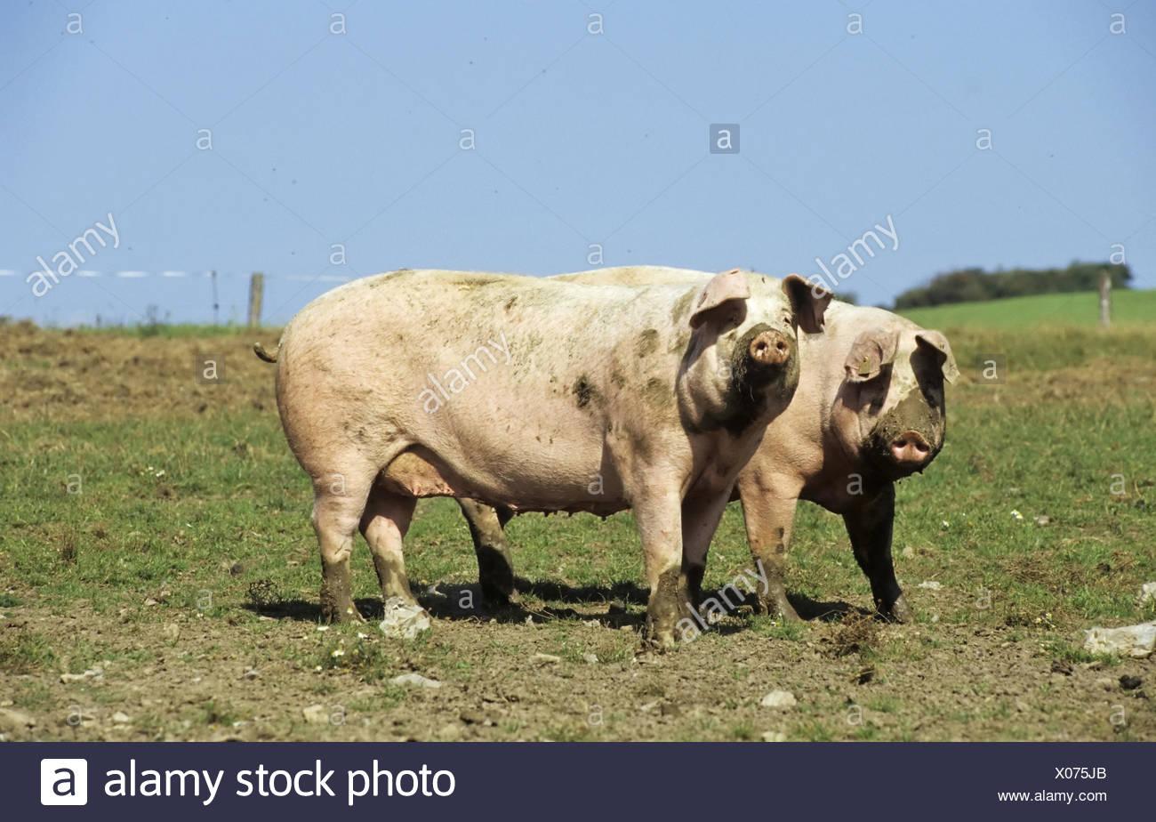 Landschwein, pig, sau, sow - Stock Image