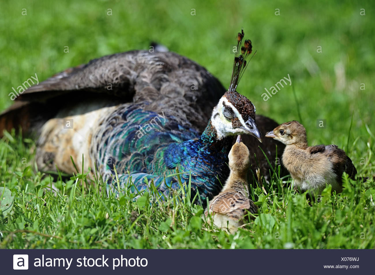 Peacock, Pavo cristatus, mother animal, rest, fledglings, meadow, Germany, habitat, gallinaceous birds, animals, animal family, upper tail deck feathers, feathers, plumage, lie, sleep, tiredly, rest, young animals, young animals, two, grass, nature, - Stock Image