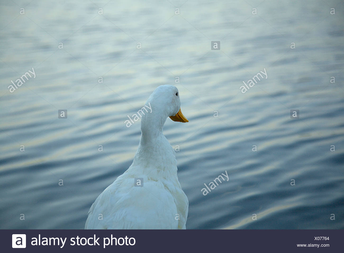 Single white duck on the shore of a lake Stock Photo