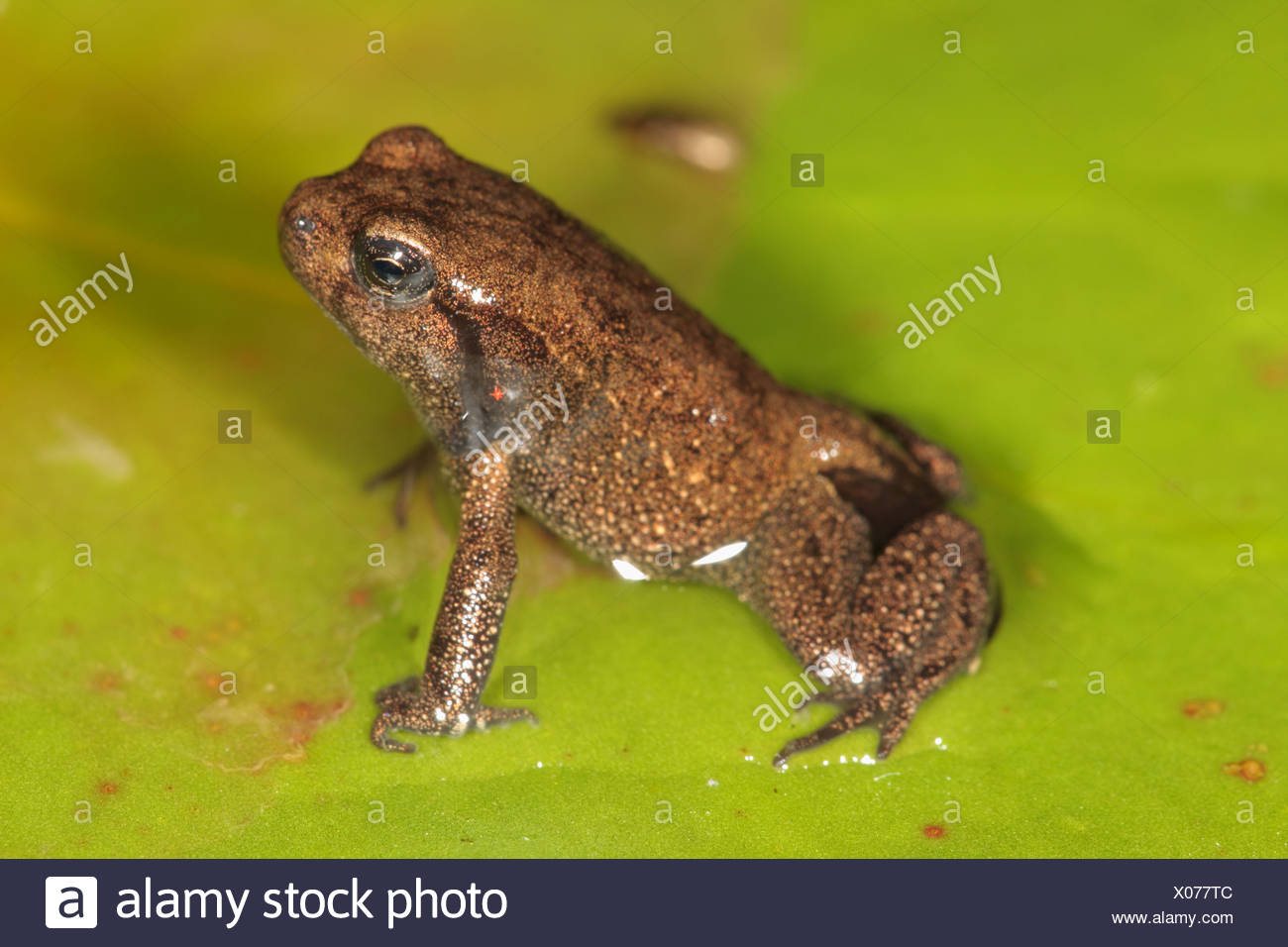 European common toad (Bufo bufo), with small tail at the end of metamorphosis, Germany, Bavaria Stock Photo