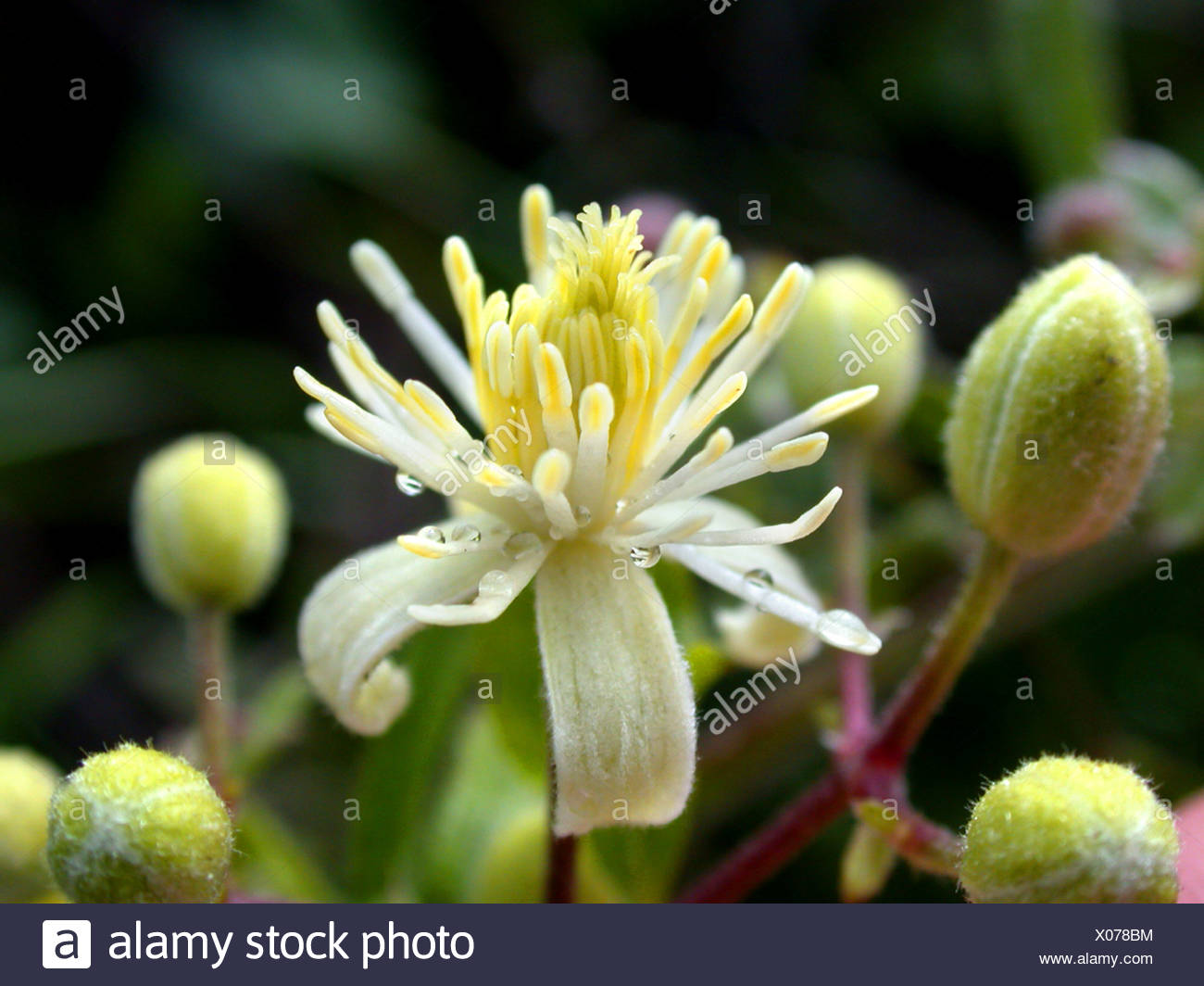 Travelers Joy, Old Man's Beard (Clematis vitalba), flower, Germany - Stock Image