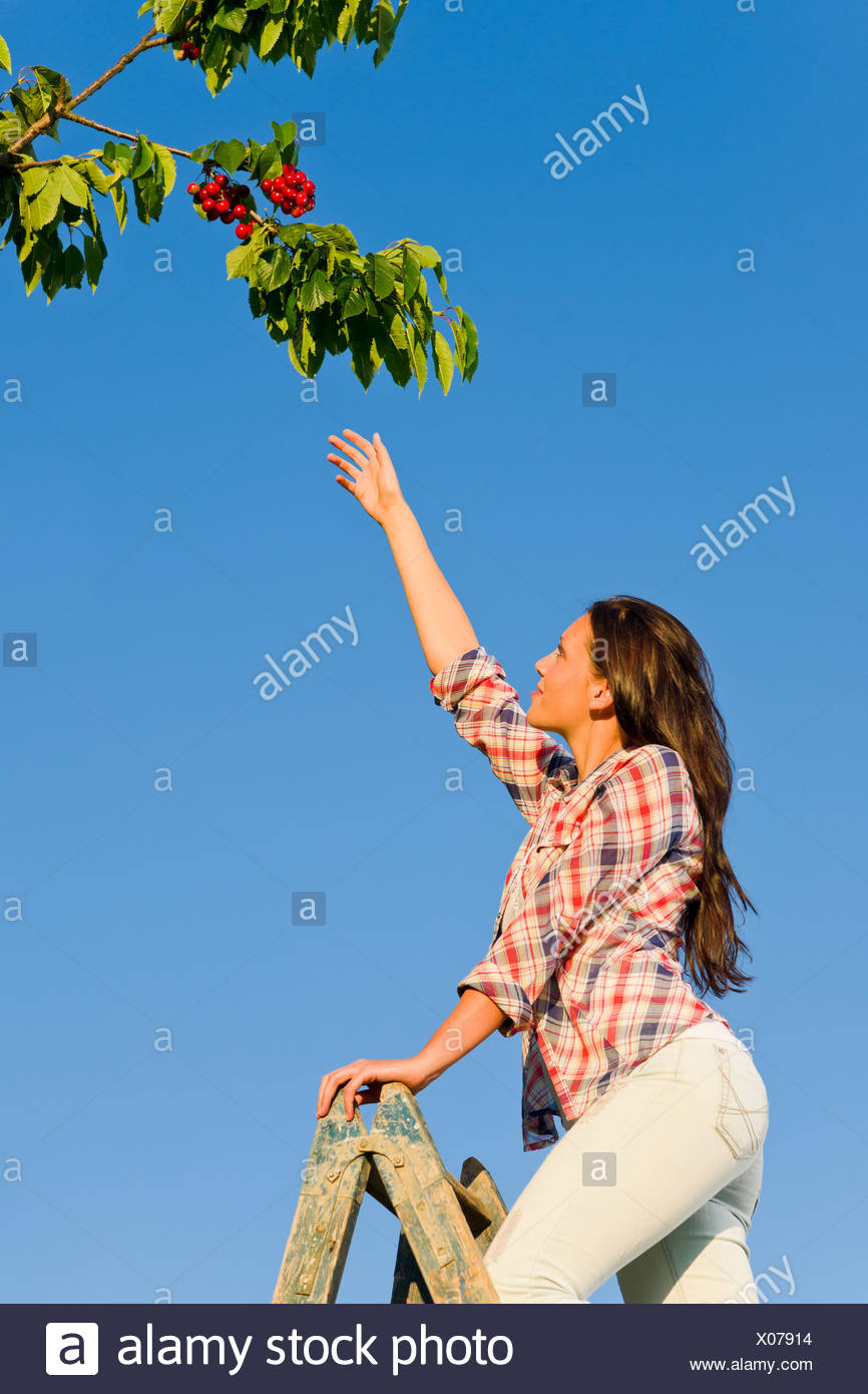 Cherry tree woman reaching high branch summer - Stock Image