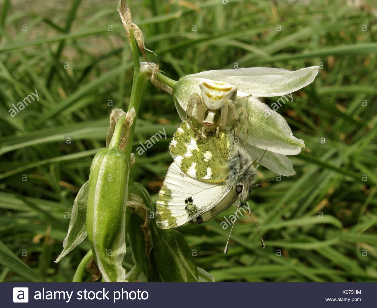 bath white (Pontia daplidice), drooping star-of-bethlehem, Ornithogalum nutans, Greece, Peloponnese Stock Photo