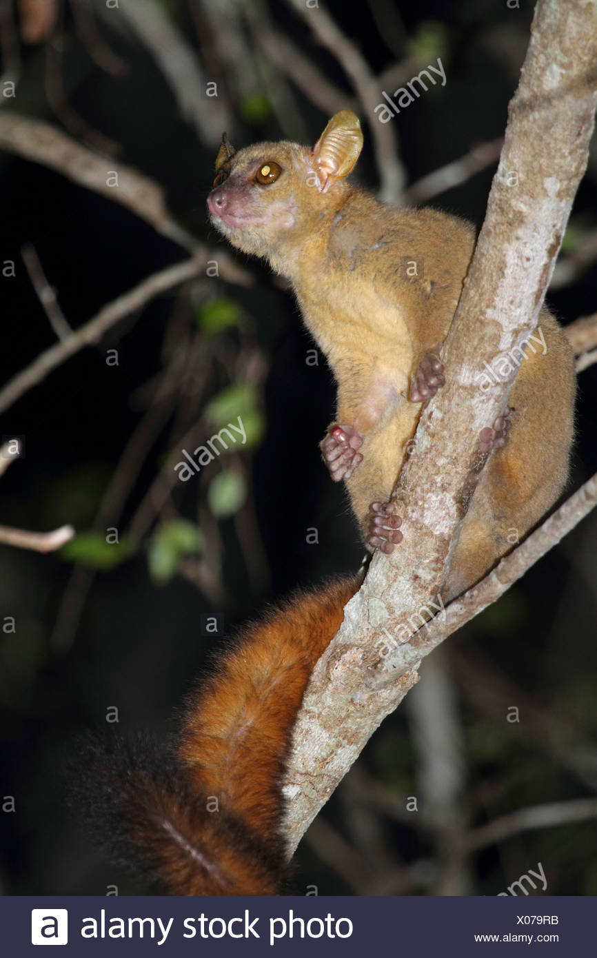 Coquerels' giant dwarf lemur, Coquerel's mouse lemur, Coquerel's giant mouse lemur (Mirza coquereli), sitting on branch and looking upwards, Madagascar, Toliara, Kirindy Forest Stock Photo