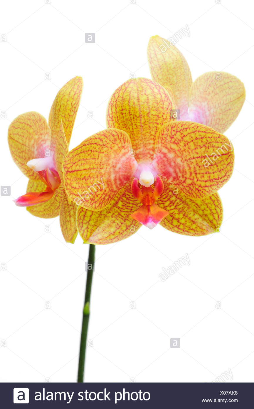 Orchid flowers, Orchidaceae (Phalaenopsis hybrid) Stock Photo
