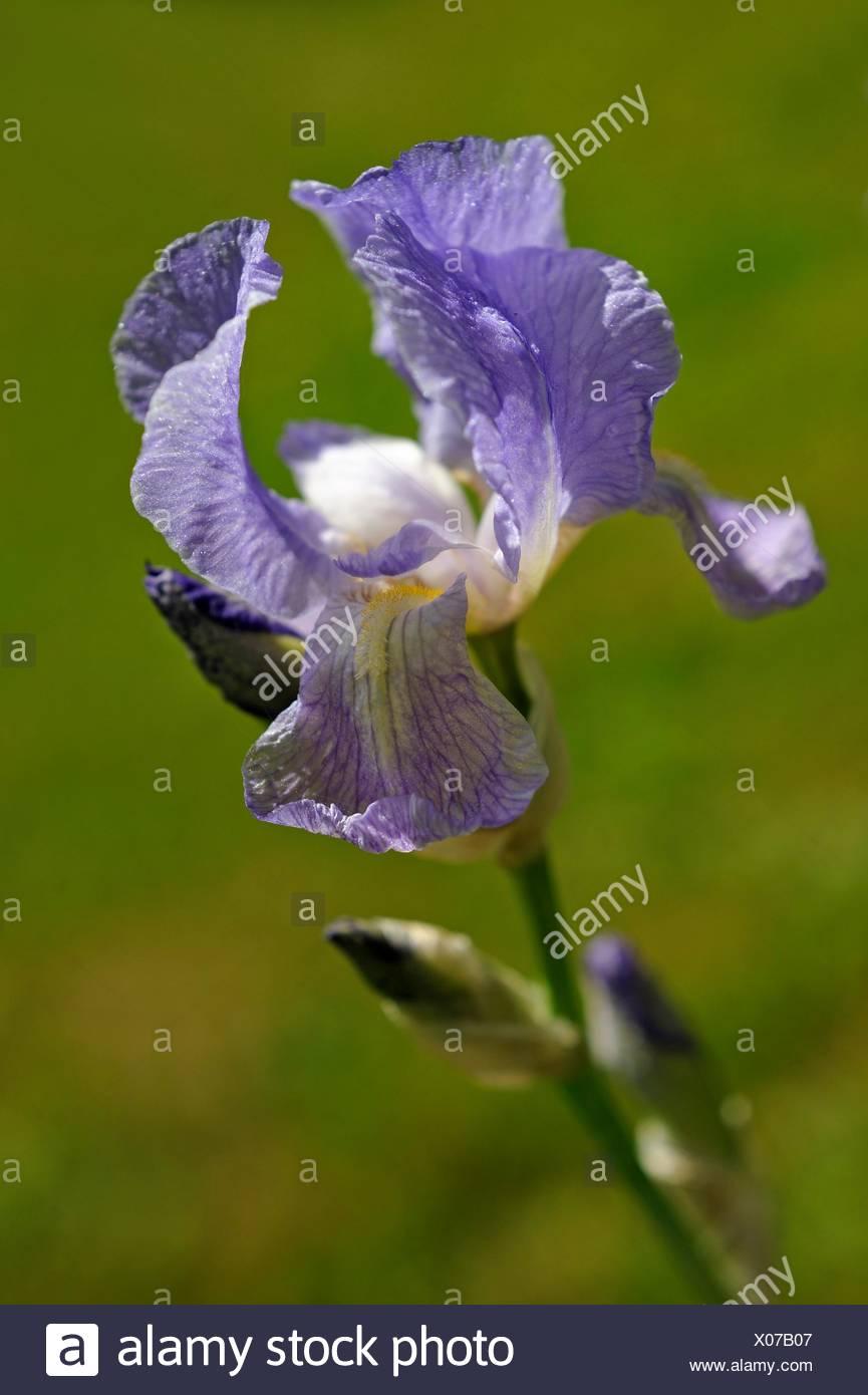 Dalmatian iris (Iris pallida). - Stock Image