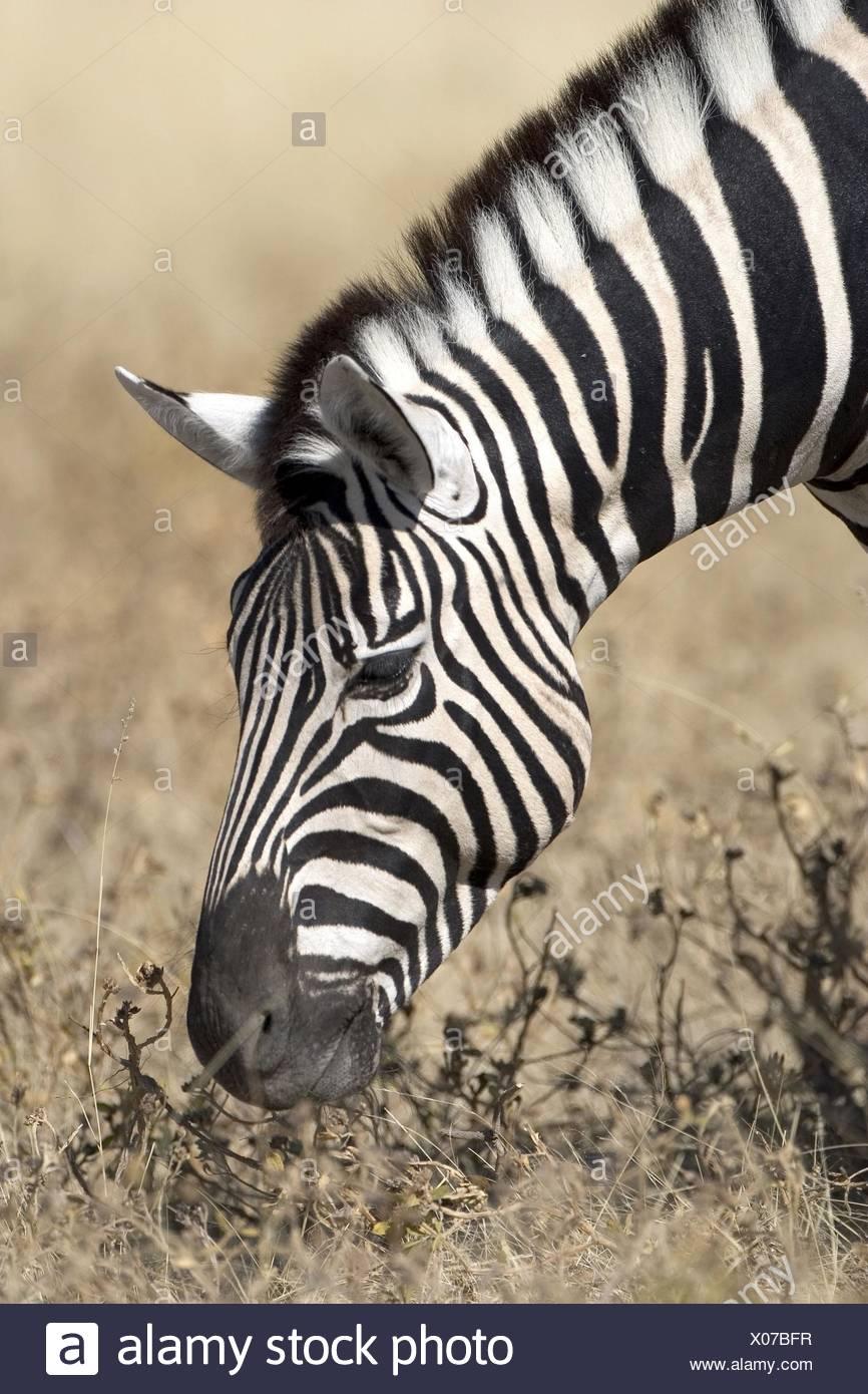 eating zebra - Stock Image