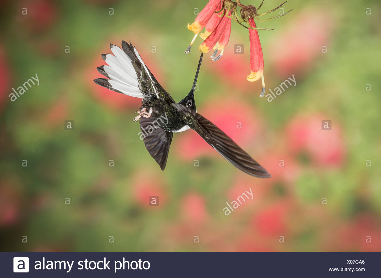 A male white collard inca is feeding on the nectar of a flower. - Stock Image