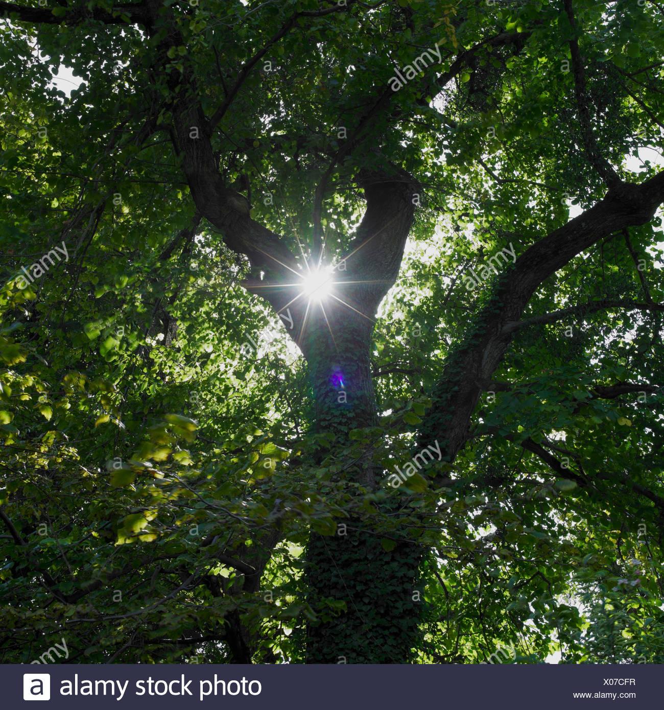 Sun shinning trough leafs of tree - Stock Image