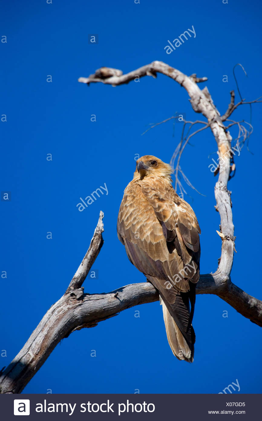 wedge-tailed eagle (Aquila audax), sitting on a dead tree, Australia, Northern Territory, West MacDonnell National Park - Stock Image