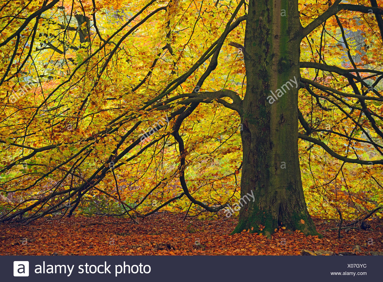 Old Beech tree, nature reserve Primeval Forest Sababurg, Hesse, Germany / (Fagus spec.) - Stock Image