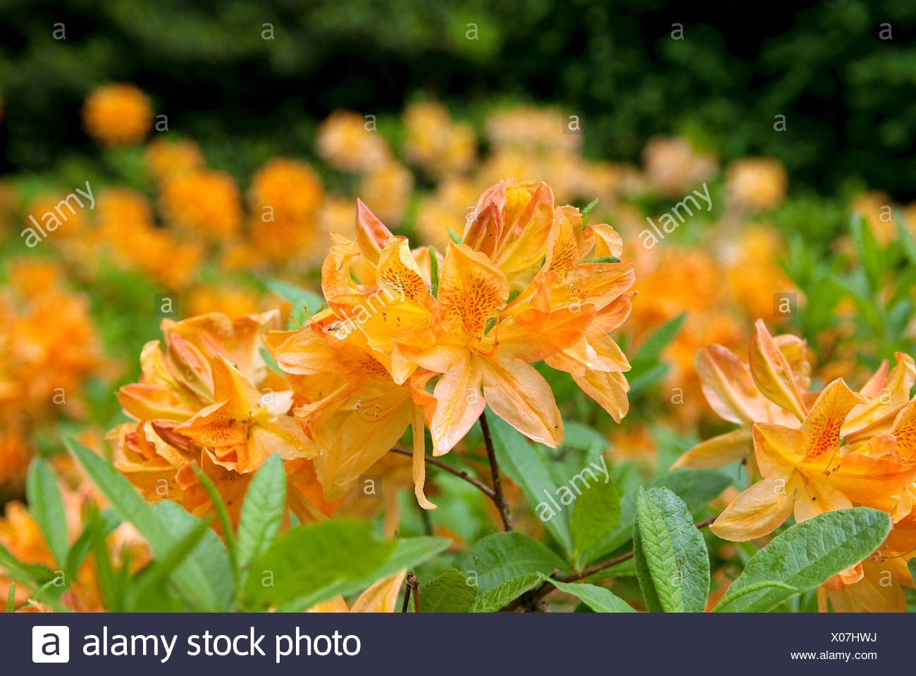 rhododendron (Rhododendron luteum 'T.J. Seidel', Rhododendron luteum T.J. Seidel), cultivar Joseph Dietzgen - Stock Image